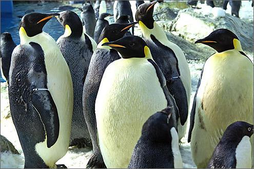 コウテイペンギンの画像 p1_24