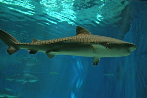 イタチザメの画像 p1_7